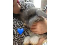 Baby Rabbits 1/4 lionhead 3/4 mini lop