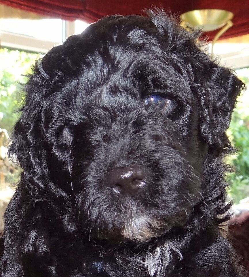 Portuguese Water Dog Puppies For Sale 1 Remaining Male