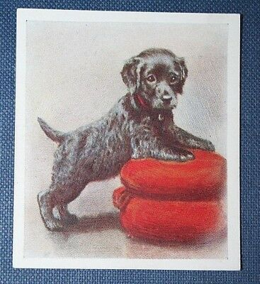 IRISH WATER SPANIEL PUPPY  Original Vintage Textured Colour Card
