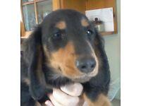 Dachshund Miniature longhair puppies.