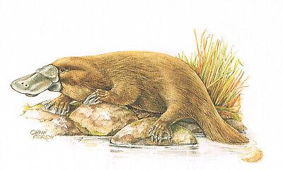 Schnabeltier Eierlegende Säugetiere - Kunstdruck-Bild - 25,5 x 17,5 cm