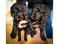 5 Adorable Cockerpoo Puppies for Sale. Pedigree lineage F1B extremely healthy and happy pups.