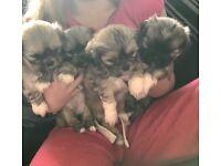 Lhasa x shitzu puppies for sale
