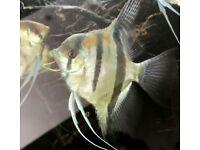 Manacapuru Angelfish - adult male and female, also sub adult juveniles.