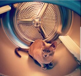 Burmese cat - 2 years old - for loving home familiar with burmese