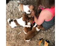 MINIATURE JACK RUSSELL PUPPIES 🐶