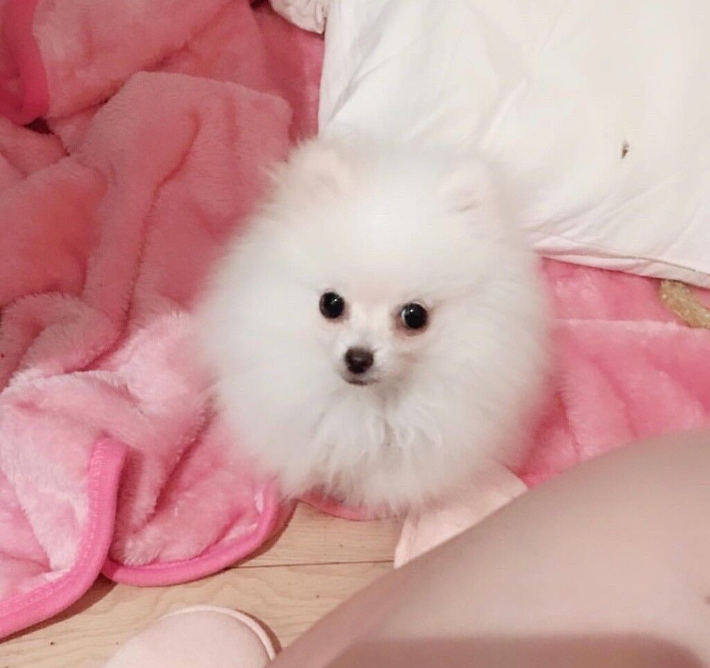 Miniature Pomeranian Puppy Dog Crate Dog Bed And Many More