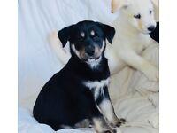 Beautiful Husky x Lab Puppies - 1 Left