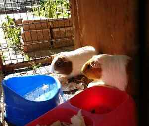 Healthy Guinea Pigs For Sale Liverpool Liverpool Area Preview