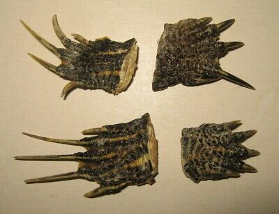 Lot of 4 Dried Red-eared Slider Turtle Feet Foot Claws Paws Animal Taxidermy Red Eared Sliders Turtles