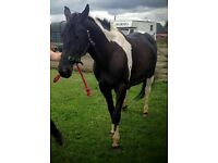 16.2hh Mare for share Ramsey st Mary