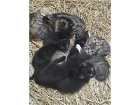 2 Black Female Kittens for sale