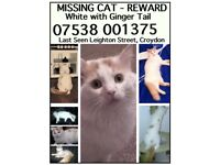 White cat with ginger tail, large fluffy MISSING/STOLEN 16 April 2016