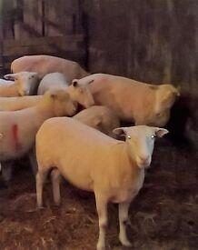 Sheep shearer available