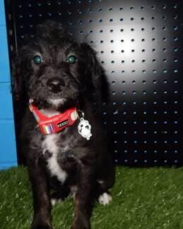 Poodle x Mini Foxie Pup Kings Park Blacktown Area Preview