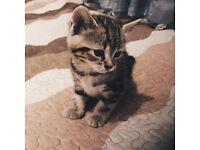 Lovely mixed breed (Celtic Shorthair cat & Bengal cat) kitten for sale in London
