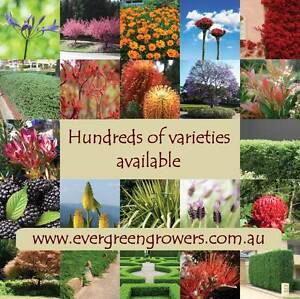 Cheap young plants delivered. Hedge screening climbers flowering Dural Hornsby Area Preview