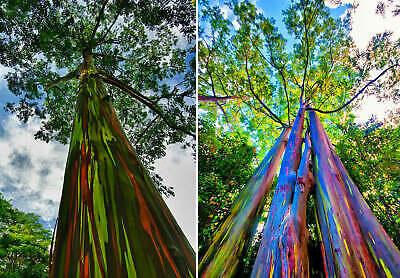 500 Viable seeds - Eucalyptus deglupta (Rainbow Eucalyptus - Beautiful rare tree
