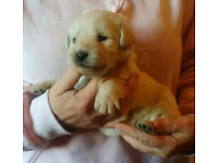 Labradoodle Puppies (F1's), 3 from the litter of 9 available.
