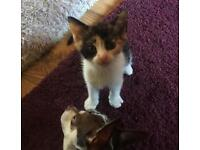 3 Beautiful part Siamese kittens .. 1 female tortie , 2 Male ginger , £160 each ... no offers