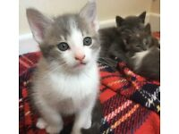 Cypriot short haired Kittens ready 26/05