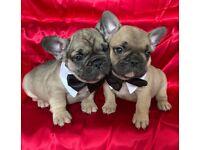 Beautiful French Bulldog pups