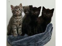 4 Beautiful Kittens - Mixed Breed - British Short Hair