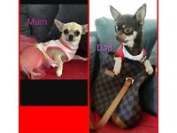 Pure breed chihuahua male puppies 3 available!