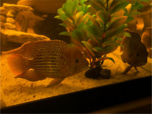 Good looking, healthy Green Terror cichlids