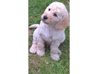 Gorgeous curly white F3 mini labradoodle boy. 8 weeks old and now ready for his new family