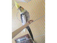 Cockatiel for sale with cage!