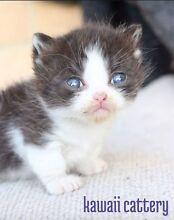 Pedigree short legged munchkin kitten- Kawaii cattery Melbourne CBD Melbourne City Preview