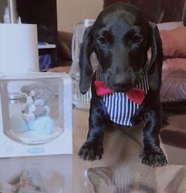 Beautiful Miniature Dachshund Male Puppy