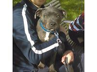 Blue staff puppy 8 months old