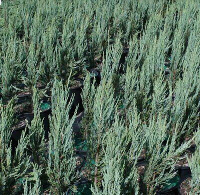 Juniper Scopulorum, Juniper 'Blue Arrow' Tree, Rocky Mountain, 4 Inch -