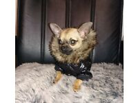 ** LOLA THE MINIATURE GORGEOUS CHIHUAHUA PUPPY FOR SALE **