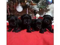 Black schnauzer minature pups forsale
