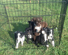Border Collie / Kelpie Pups Koah Tablelands Preview