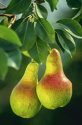 Pyrus Communis Bartlett Pear Tree Seeds
