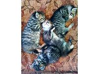Gorgeous stripy tabby kittens for sale