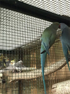 Turquoise Indian Ringneck Campbellfield Hume Area Preview