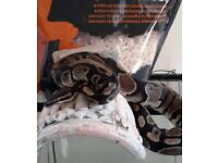 2 year old royal python