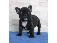 KC French Bulldog LAST ONE LEFT