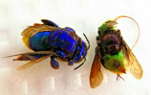 2 HYMENOPTERA BLUE PURPLE & GREEN BEE SP RARE UNMOUNTED  AMAZING COLORS