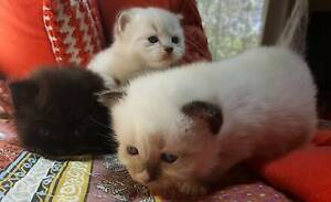 Pure bred ragdoll Kittens Kings Park Blacktown Area Preview