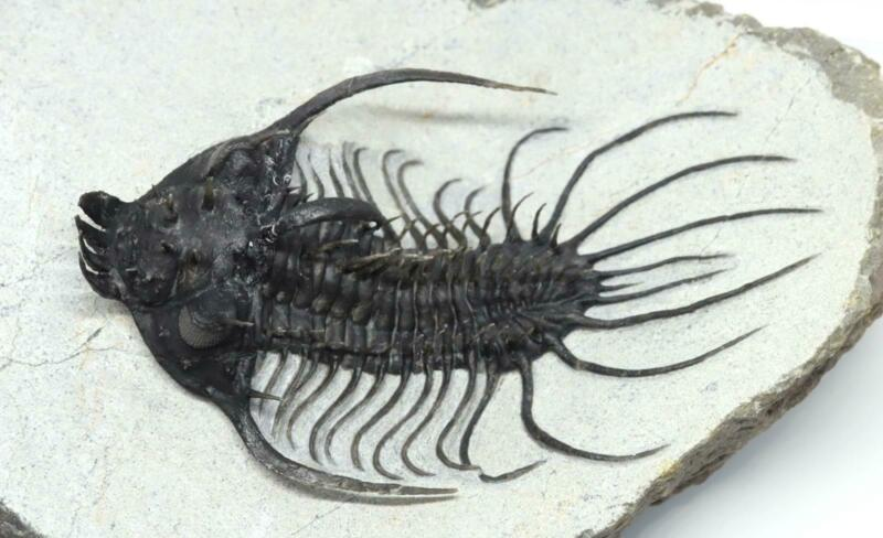 Spiny Quadrops TRILOBITE Fossil Morocco 380 Million Years Old #15204 37o