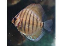 Young Stendker Discus