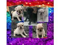 Beautiful pug pups