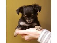 CHICHUCHUA PUPPY LOVELY AND BEAUTYFULL