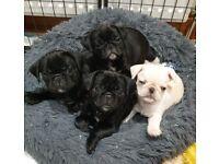 Ready Now, KC reg pug puppies